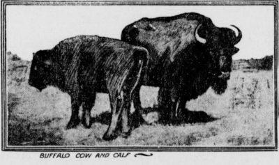 Charlevoix County Herald Bison Pair