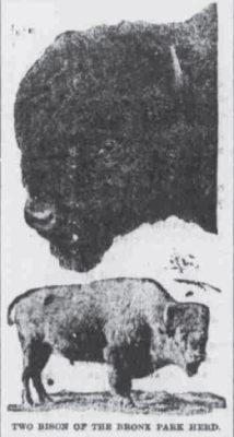 Crittenden Press Aug 23 1906 Saving The Bison.