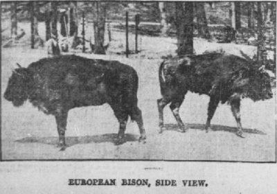 European Bison side view