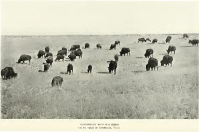Charles Goodnight Bison Herd by Harold Baynes of ABS 1908