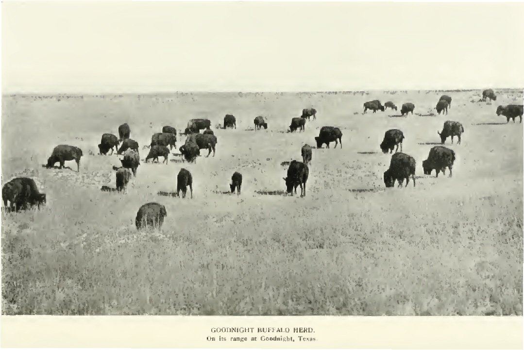 charles goodnight bison herd all about bison