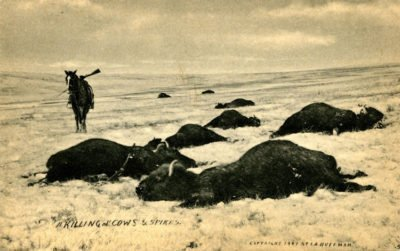 1907 Killing of Cows & Spikes LA Huffman Collection