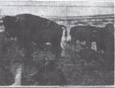 1905 Rockefeller Bison