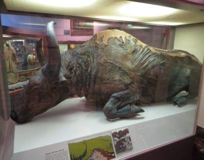 Steppe Bison Mummy