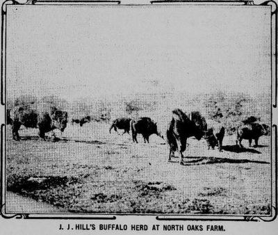 J.J. Hill Bison Herd