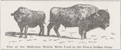 Ponca Buffalo for the hunt