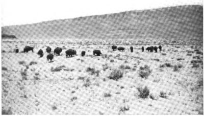 Grand Canyon Bison Herd