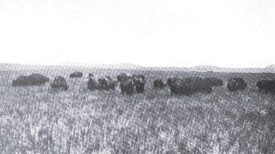 Wichita Bison Herd