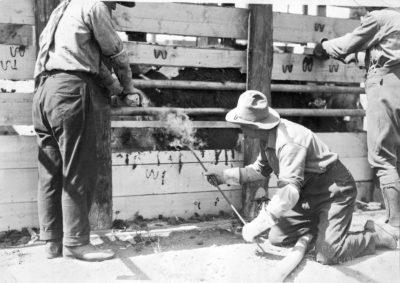 Branding Bison -Wainwright to Wood Buffalo Nat'l Park
