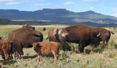 Dry clay on buffalo bull