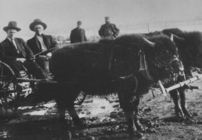Hjalmer Nordvold and his brother, Orton, are seated behind a team of bison broke to harness. The figure on the right in the bkgrd is Scotty