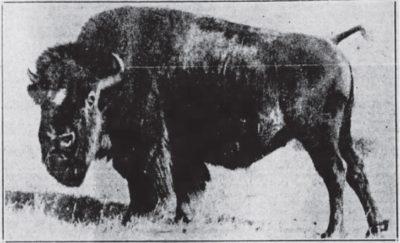 1924 Bison