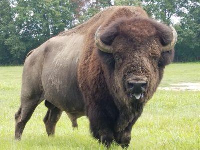 Modoc Bison Bull