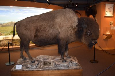 Greys River Bison Bull Wy Museum