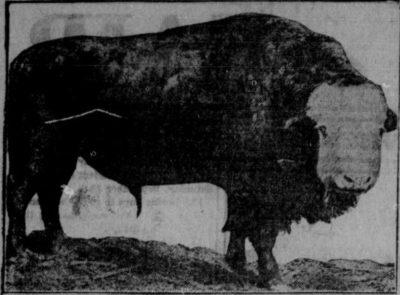 1915 Cattalo