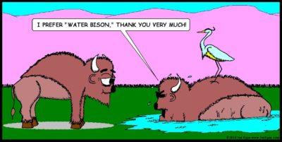 Water Buffalo vs American Bison