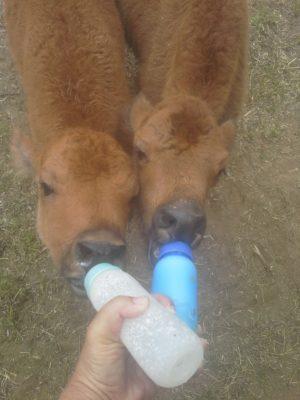 Bison Calves on bottle