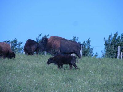 Hungary Bison Herd