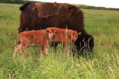 Bison Twins