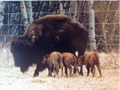 Buffalo Horn Ranch Triplets