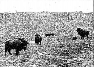 1933 Bison at Whipsnade