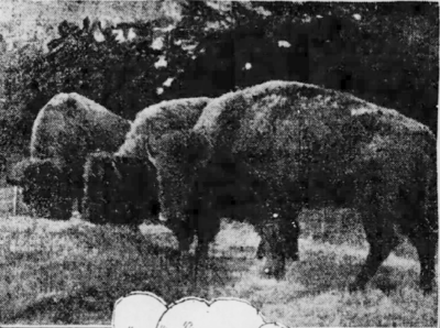 Jan 3 1905 3 bison arrive from Eaton Ranch in Montana