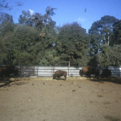 Bison at Adelaide