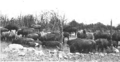 Bison Cross Galloway