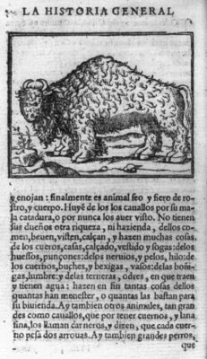 1554 American Bison Drawing