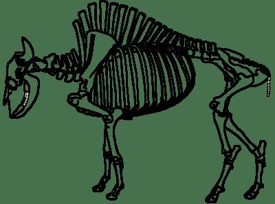American Bison Skeleton