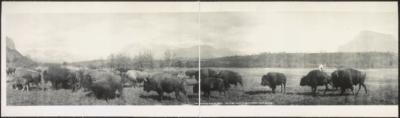 Buffalo herd at Banff Pillsbury Picture Co January 5 1906 -LOC