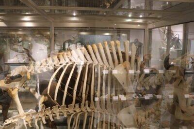American Bison Male Bison Skeleton