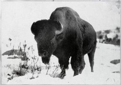 War Cloud, King of the Corbin buffalo herd. Newport, New Hampshire