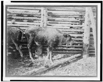 Young Buffalo Calf 1870-74 by William HenryJackson LOC
