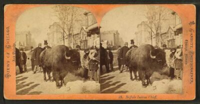 Bison being led by nose ring