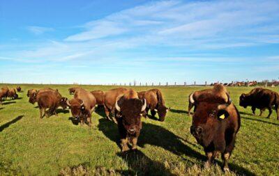 Wermsdorf Germany Bison Herd