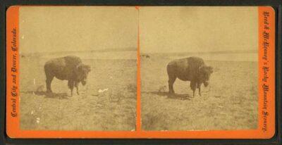 1875 View of a buffalo