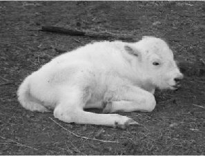 White Buffalo Calf carries a promi÷ of ‹ace.