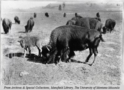 Cow and calf, Conrad Buffalo herd c1905