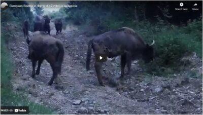 Romania Bison release