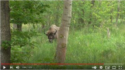 European bison. Denmark 2015
