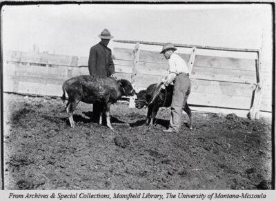Taming calves Conrad buffalo herd circa 1904_1906