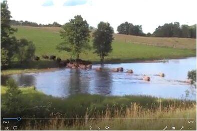 Bisonfarmen i Gate (Bison Farm in Gate) – American Bison Sweden bison ranch 2015