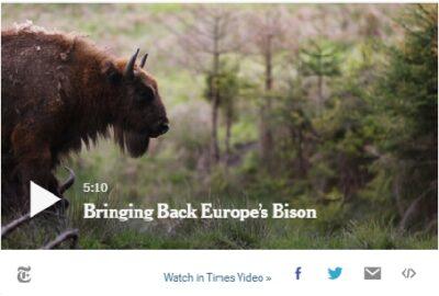 Bringing Back Europe's Bison