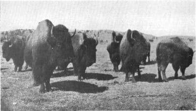 Niobrara Bison Herd 1915