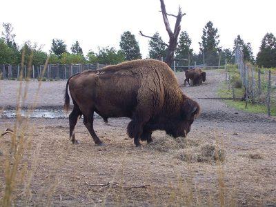 Netherlands Bison